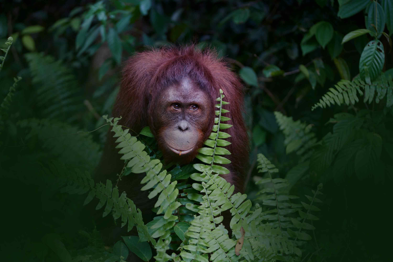 Orang-outang Bornéo
