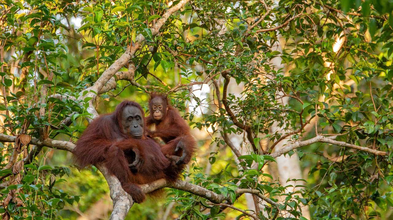 Orang-outan Bornéo